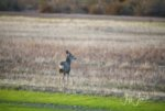 muley_spike_goose_field_nwr.jpg