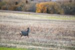 muley_spike_goose_field_nwr2.jpg